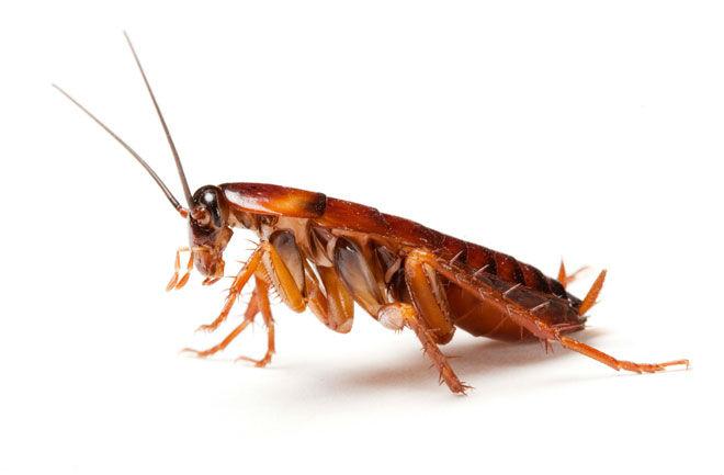 cockroach-close-up-660